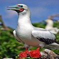 wildlife galapagos red footed booby